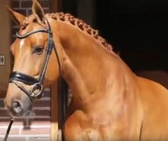 Un cheval français 5 ème du Championnat néerlandais préparatoire au niveau Saint Georges