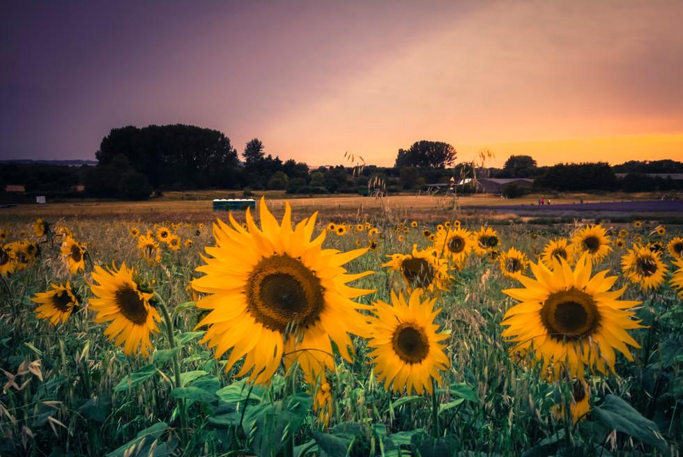 Sweet sunflower sunday