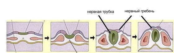 меланогенез3.jpg