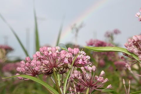 GreenLaceWing_Asclepias%20(1)_edited.jpg
