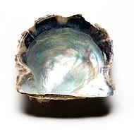 Concha de ostra perlífera Pinctada Fucata de Sumiperla.s.a