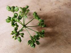 Alexander Seeds   Green