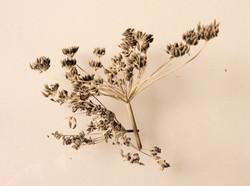 Wild Fennel Seeds