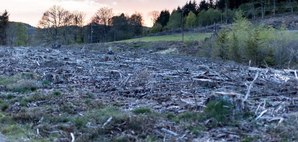 Coupe rase d'une exploitation forestière de Douglas