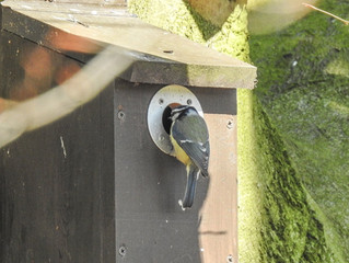 Blue tits in residence!