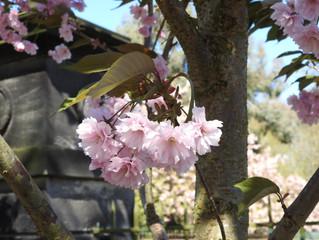 Cherry blossom time in Beckett Park!