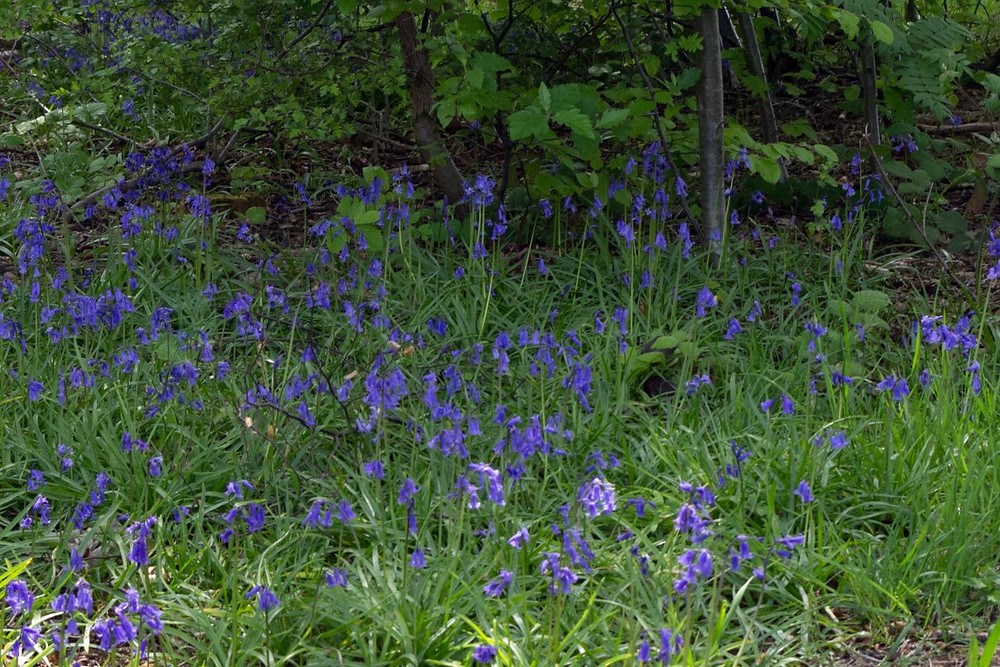 We planted extra native bluebells in the copse to supplement the small patches of existing ones.  They have all come up a treat