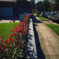 Photinia Red Robins at Earlwood