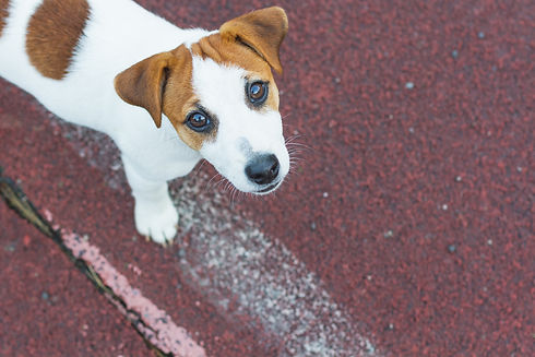 Jack Russell Terrier puppy,white with br