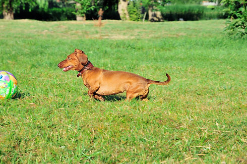 Dog plays with the ball. Dog breed standard smooth-haired dachshund..jpg