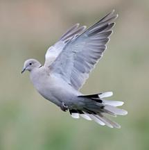 염주비둘기