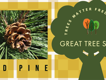 Red Pine Memories