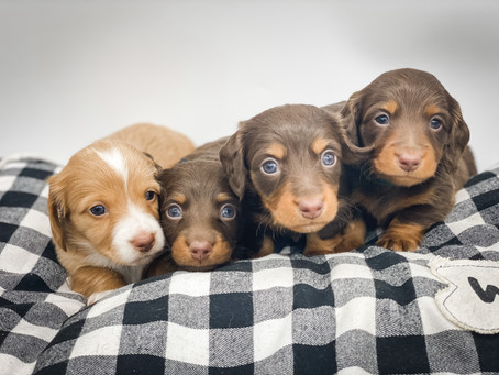 Welcome to Doodles & Doxies!