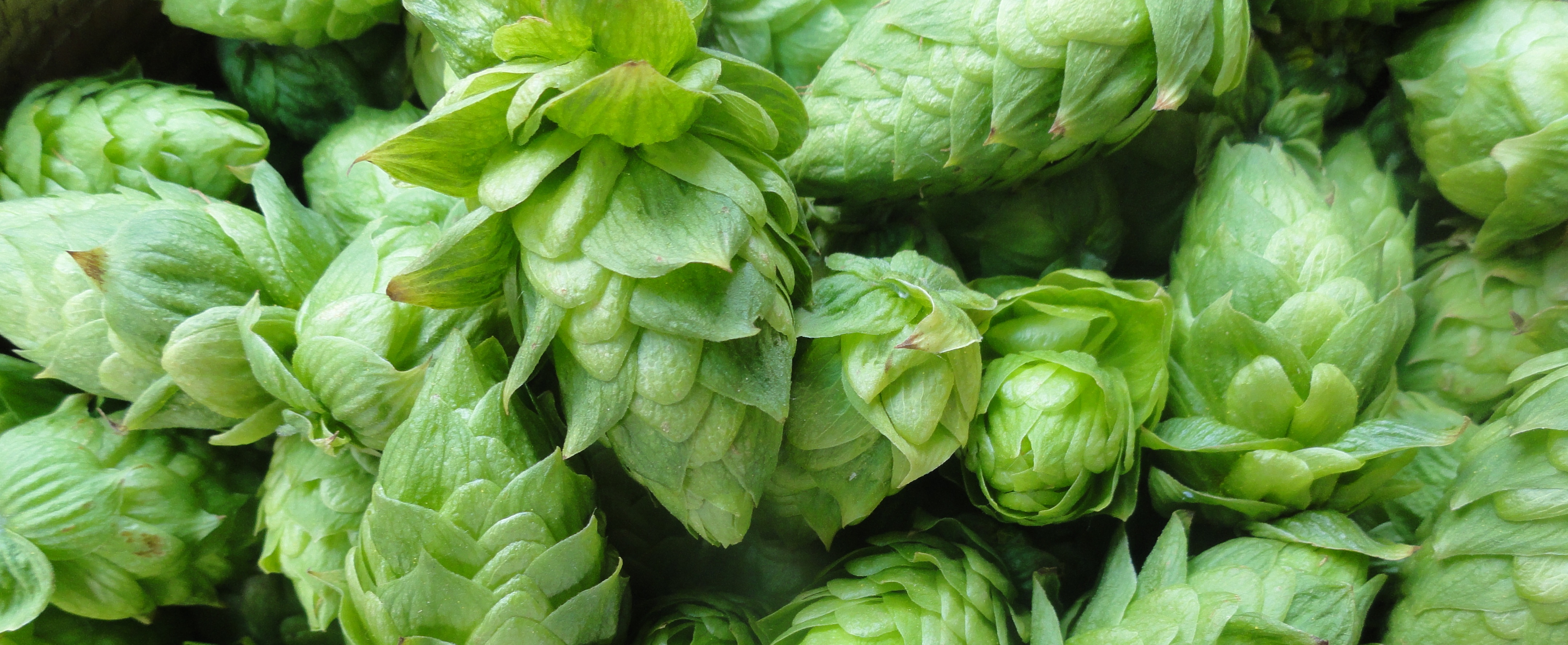 hops_closeup