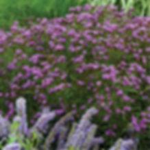 Vernonia Southern Cross - Ironweed.jpg