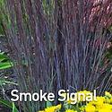 Schizachyrium s. Smoke Signal - Little B