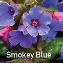 Pulmonaria Smokey Blue