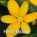 Belamcanda c. Hello Yellow - Blackberry