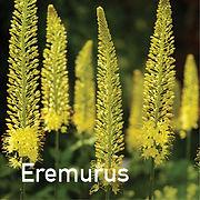 Eremurus bungei - Foxtail Lily