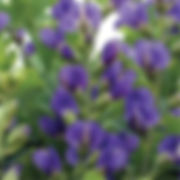 Baptisia australis - False Indigo.