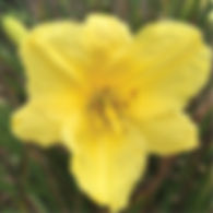 Hemerocallis Happy Returns - Daylily.jpg