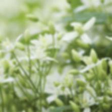 Clematis paniculata - Sweet Autumn.jpg