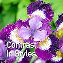 Iris s. Contrast in Styles - Siberian Ir