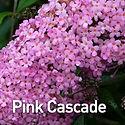Buddleia Pink Cascade - Butterfly Bush.j