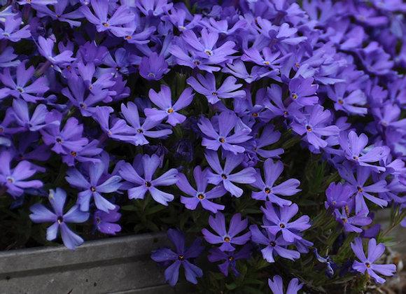 Phlox 'Violet Pinwheels'