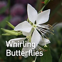 Gaura Whirling Butterflies - Beeblossom.