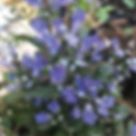 Ajuga Chocolate Chip - Bugle Weed.jpg