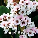 Bergenia Angel Kill - Pigsqueak