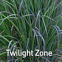 Schizachyrium s. Twilight Zone - Little