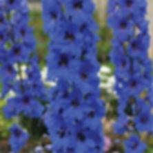 Delphinium Million Dollar Blue - Perenni