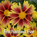 Coreopsis Lil Bang Enchanted Eve - Ticks
