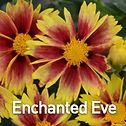 Coreopsis Lil Bang Enchanted Eve - Ticks