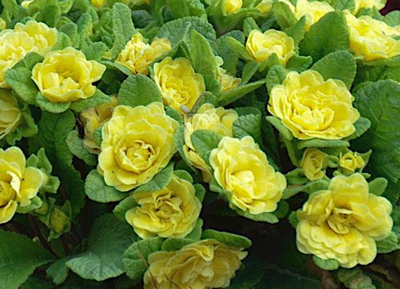 Primula 'Buttercup'
