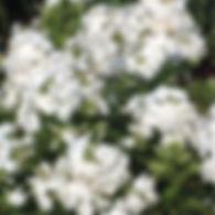 Phlox pan. David - Tall Garden Phlox.jpg