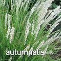Sesleria autumnalis - Autumn Moor Grass.