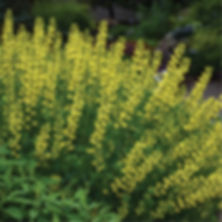 Baptisia American Goldfinch - False Indi