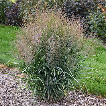 Panicum v. Gunsmoke - Switch Grass