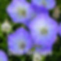 Campanula Delft Teacups - Bell Flower