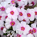 Phlox sub. Coral Eye - Creeping Phlox.jp