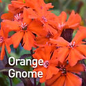 Lychnis a. Orange Gnome - Maltese Cross.