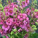 Verbascum Plum-Smokey.