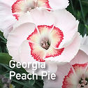 Dianthus Georgia Peach Pie - Pinks