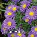 Aster Kickin Lilac Blue - Michaelmas Dai