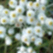 Anaphalis m. - Pearly Everlasting.jpg