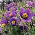 Anemone vulgaris - Pasque Flower.