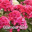 Phlox pan. Glamour Girl - Tall Phlox.jpe